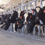 More Cows Works for MasCow Dairy
